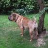 Fela, hochträchtig im Garten